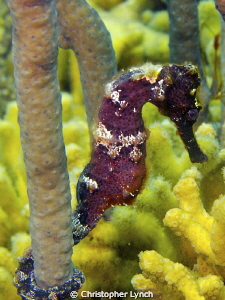 sea horse w/ a belly ???? by Christopher Lynch 